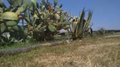 colitis : Cactus fruit prickly pear plantation. Outdoor footage.