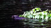 bóbr : Beaver carrying limbs through the water 2 Wideo