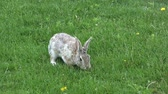 zając : Cottontail Feeding in Grass