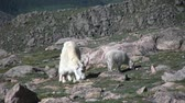 americanus : Mountain Goats Feeding