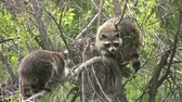 maske : Raccoon Playing in Tree Stock Footage