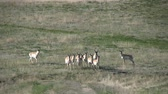 antilop : Pronghorn Antelope Herd Stok Video