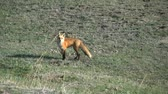 kürk : Red Fox Running