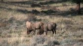 kuh : Cow Elk Grazing