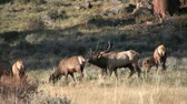 kuh : Elk Herd in Brunftzeit Stock Footage