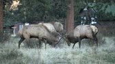montanha : Bull Elk Fighting During Rut