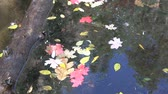 осень : Autumn Leaves Floating on Water Стоковые видеозаписи