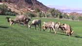 sürü : Herd of Desert Bighorn Sheep