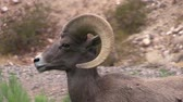 animali : Desert Bighorn Sheep Ram Portrait Filmati Stock