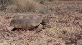 рептилия : Desert Tortoise Walking