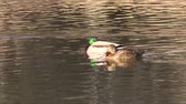 galinha : Mallards Resting Stock Footage