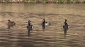 galinha : Ring-necked Ducks on Pond