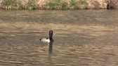 animali : Anello maschile ? necked Duck
