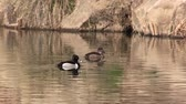 galinha : Ring-necked Ducks Resting