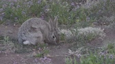 zając : Cottontail Rabbit Feeding Wideo