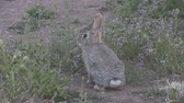 zając : Cute Cottontail Rabbit Wideo