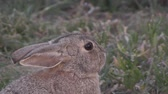 zając : Cottontail Rabbit Close up