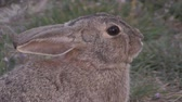 zając : Cottontail Rabbit Portrait
