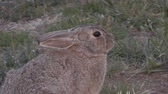 lebre : Cottontail Rabbit Zoom Out