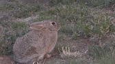 lebre : Cottontail Rabbit Zoom In
