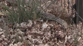 natuur : Bull Snake Stockvideo