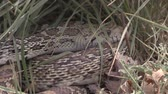 bulle : Bull Snake Close Up Stock Footage