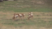 antilop : Pronghorn Antelope Does Grazing Stok Video