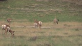 antilop : Pronghorn Antelope in Rut