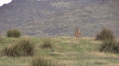 antilop : Pronghorn Antelope Buck in Rut