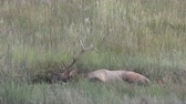 bulle : Bull Elk Wallowing