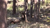 bulle : Bull Elk Bedded Stock Footage