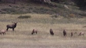 kuh : Elk Herd in Rut