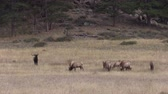 sürü : Elk Herd in Rut