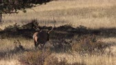 bulle : Nizza Bull Elk in Wiese Stock Footage