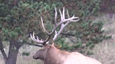 bulle : Bull Elk Close Up Stock Footage