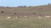 sürü : Pronghorn Antelope Herd on the Prairie