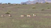 antilop : Pronghorn Antelope Herd on the Prairie