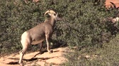 animais : Desert Bighorn Sheep Ewe Feeding Stock Footage