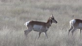 antilop : Pronghorn Antelope Does
