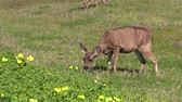 animali : Blacktail Deer