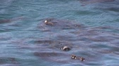 korumalı : Sea Otters
