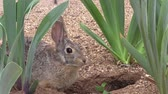 konijntje : Cottontail Rabbit Stockvideo