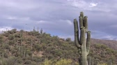 beauty in nature : Saguaro Cactus in Bloom Stock Footage