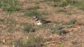 natuur : Killdeer  Stockvideo