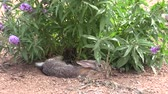 lebre : Cottontail Rabbit Hiding in Bush