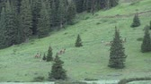 kuh : Elk Herde auf Mountainside