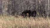 kuh : Cow Moose