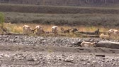 antilop : Pronghorn Antelope Herd in Rut Stok Video