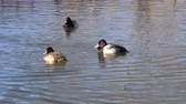 galinha : Scaup Stock Footage