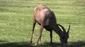 ovelha : Desert Bighorn Sheep Ewe Stock Footage
